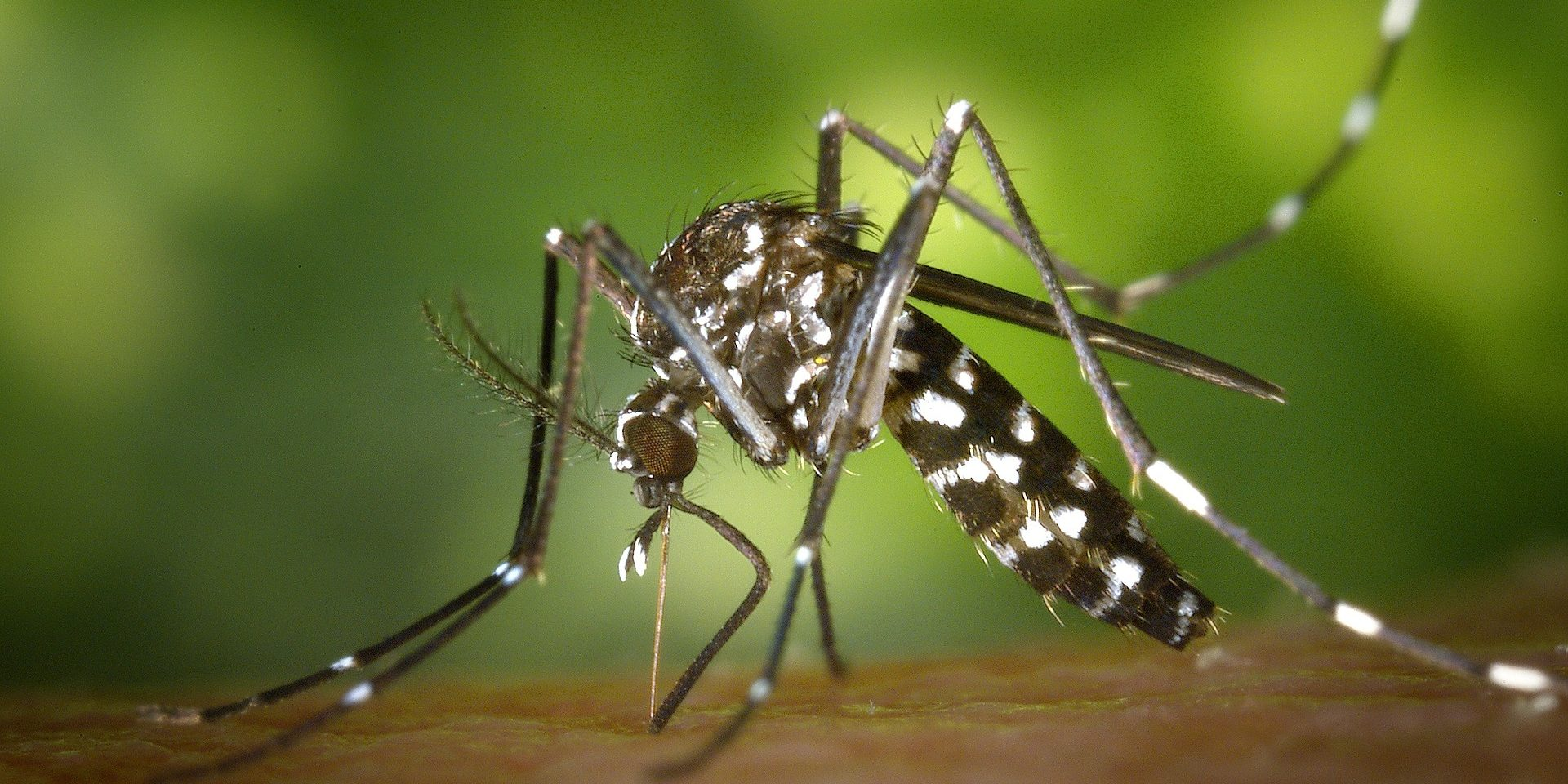 tiger-mosquito-49141_1920